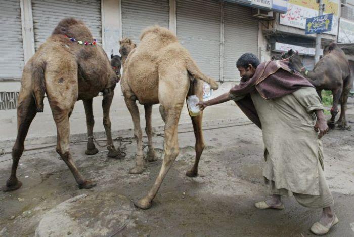 camel-urine.jpg